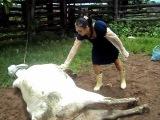 mulher toma coice de vaca violento na cabe