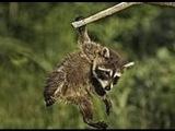 Мать учит маленького енота лазать по деревьям