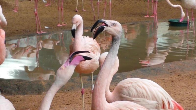 Две курицы. Parque das aves, Foz do Iguaçu, Brasil