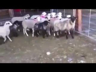 Пастушок