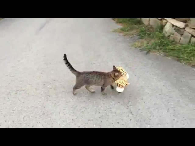 My cat went to the neighbours to borrow a tiger plush toy )