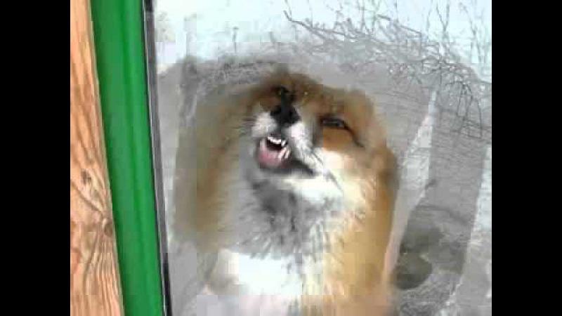 Лиса за стеклом увидела гусей!! Сработал животный инстинкт! Супер