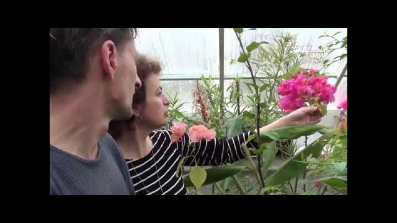 Как вырастить бугенвиллею дома. Сайт Садовый мир