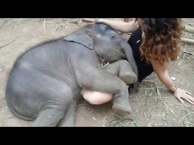 Beautiful Baby Elephant Taking a Nap at Chai Lai Orchid