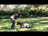 Доберман Троя (Коппод'Оро Триада Троя) 9 мес, повторяем элементы фристайла