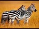 Дикая Калахари Документальные фильмы National Geographic HD