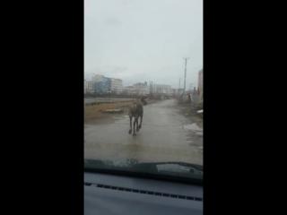 Олень на дорогах Якутска, май 2015г