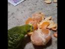 Волнистый попугай ест мандаринку