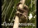 Пума и ленивец.