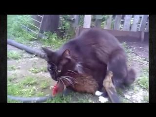 кот трахает курицу, ой дурак