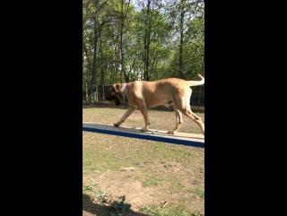Аланская собака 4 года!