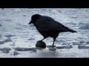 Crow and Gull play with Balls on Ice