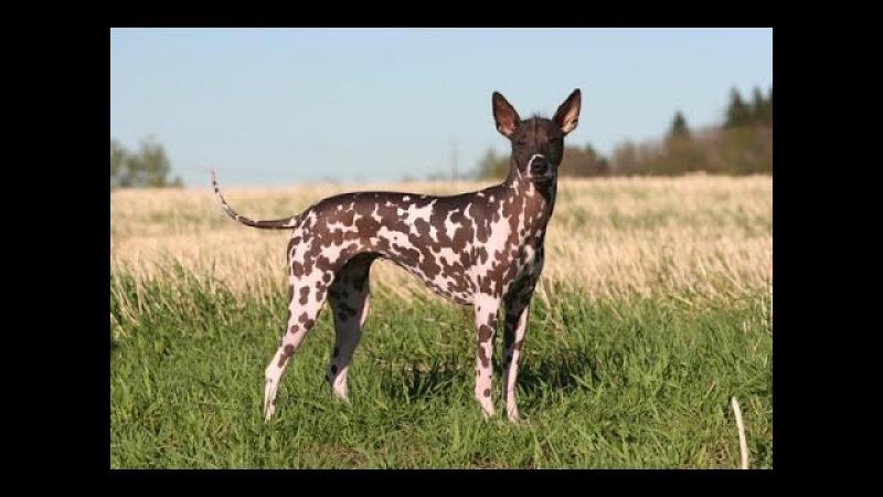 Перуанская орхидея инков , все породы собак, 101 dogs. Введение в собаковедение.