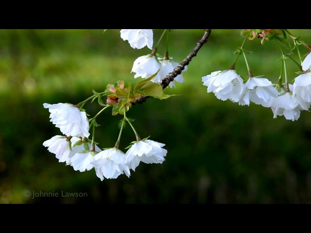 RELAX-Chopin Nocturne Op9 No2-Irish Spring Garden-3D Flowers-Calm Tranquil Classical Piano Music