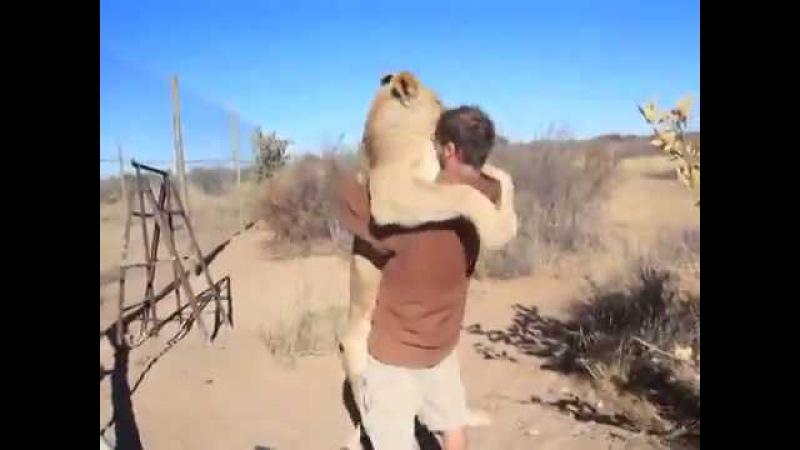Лев обнимает человека вообще жесть