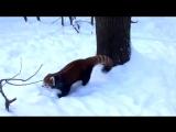 Красные панды с удовольствием в свежем снегу
