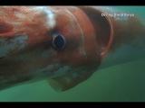 Japan Giant deep sea squid swims in bay