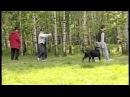 ротвейлер собака - телохранитель rottweiler bodyguard