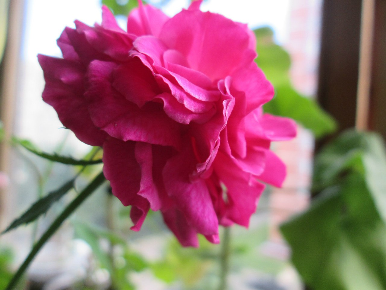 комнатная мини роза уход в домашних условиях