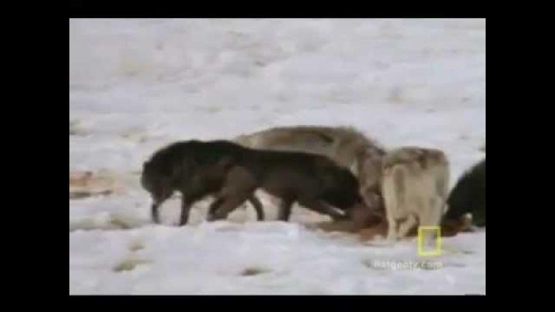 Wolf Hunting / Охота на волка Тактика