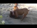 Мстительные собаки на пляже!