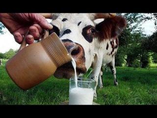 Вред молока, или Почему жизнь так коротка?