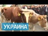 Из-за поцелуев Ляшко с коровами перекрыли центр Киева
