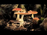 Fly Agaric growing time-lapse
