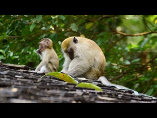 Crab-eating macaque / Макак-крабоед / Macaca fascicularis