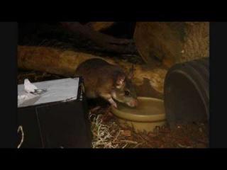 Malagasy giant rat / Мадагаскарский гигантский хомяк / Hypogeomys antimena
