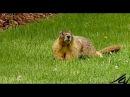 Yellow-bellied marmot / Желтобрюхий сурок / Marmota flaviventris