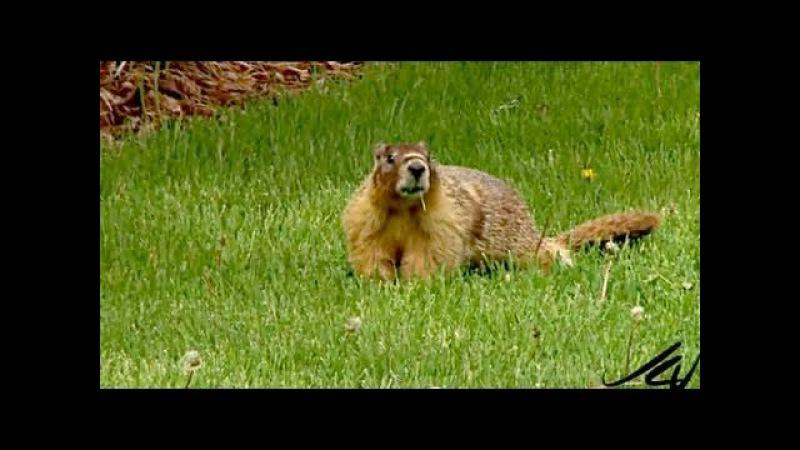 Yellow-bellied marmot / Желтобрюхий сурок / Marmota flaviventris » Freewka.com - Смотреть онлайн в хорощем качестве