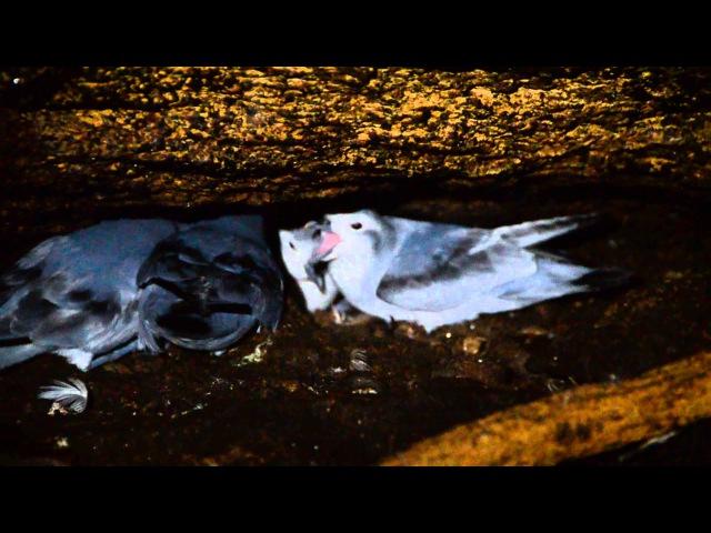 Fairy prion / Снеговая китовая птичка / Pachyptila turtur
