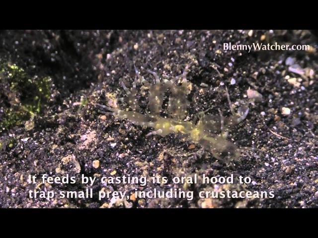 Голожаберный моллюск (Melibe megaceras)