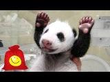 Вы слышали как кричит маленькая панда. Прикольная и забавная панда