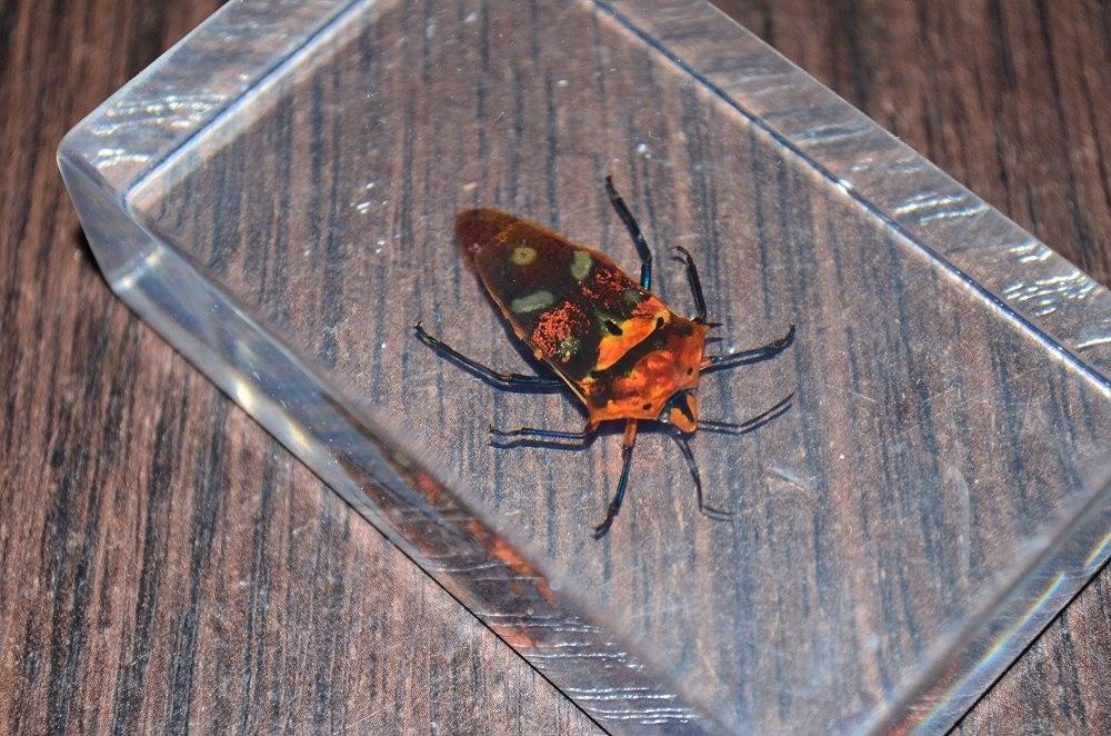 Насекомые №67 - Щитник-черепашка (Cantao ocellatus)