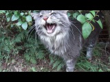 Titus the talking Maine coon cat and his favourite bush
