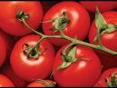 Практические советы по выращиванию томатов