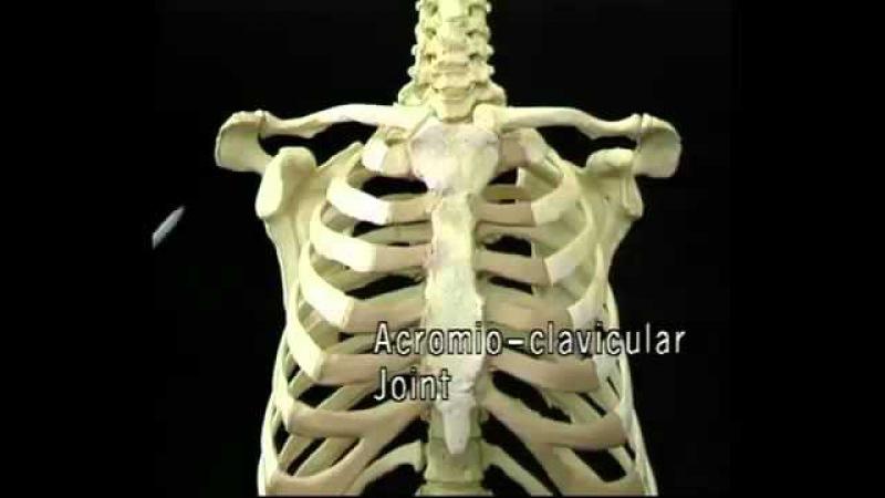 Видеоатлас Акланда. Фильм 3, часть 2. Анатомия грудного отдела
