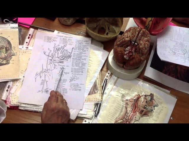 Анатомия общая, наружная, внутренняя сонные, подключичная артерии