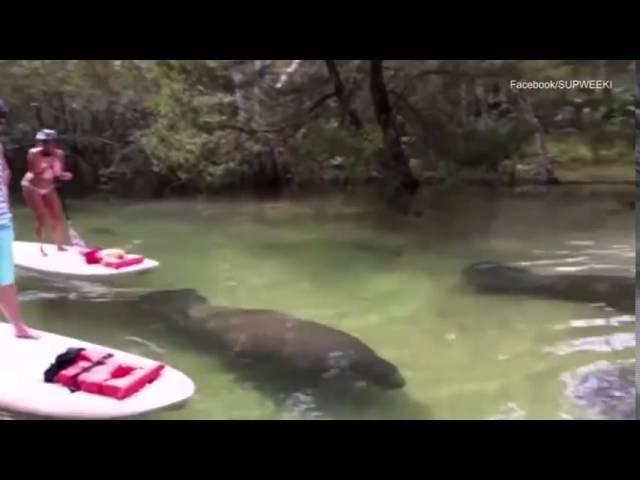 Группа ламантинов плывёт мимо двух отдыхающих.