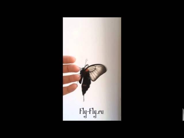 Бабочка Парусник Лёви