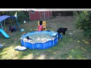 A bear family takes a dip in our pool Part II