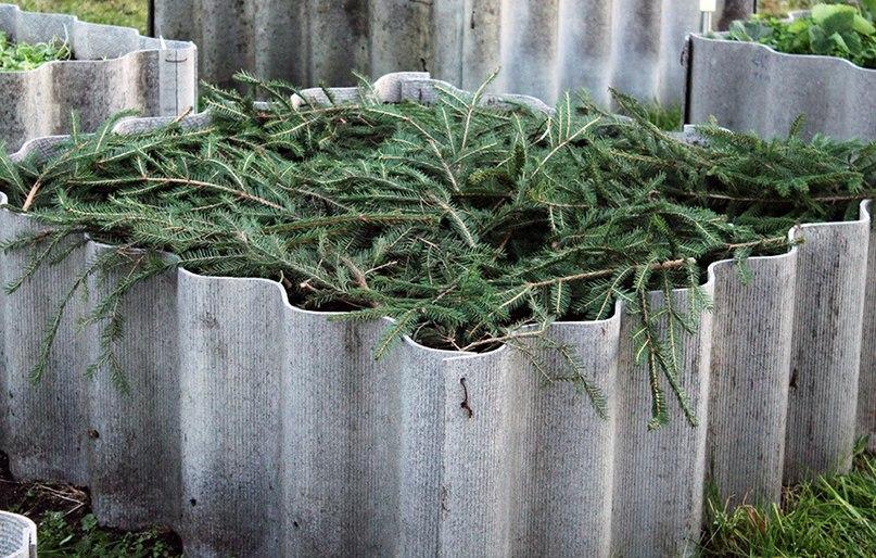 Нужны ли на участке елки?
