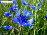 Полевые цветы васильки!...