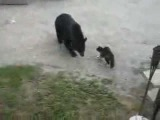 super hero cats protects family from wild bear!!!
