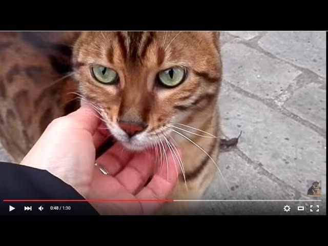 БЕНГАЛЬСКИЙ КОТ-РУЧНОЙ ЛЕОПАРД.Bengal cat.Odessa.
