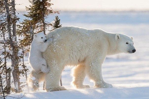 Чтобы сделать эти фотографии с полярными медведями, потребовалось 117 часов ожид...