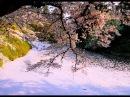Cherry blossoms blizzard 桜吹雪の鶴ヶ城のお堀・福島県 Tsurugajo castle moat 日本の桜