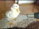 I Am a Cute Duck AWW